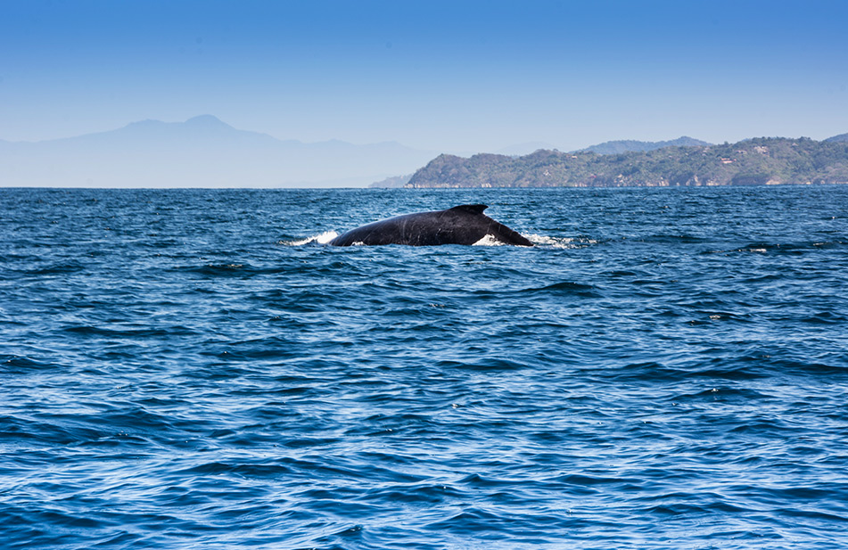 Humpback Whales arrive to Sayulita between December and March