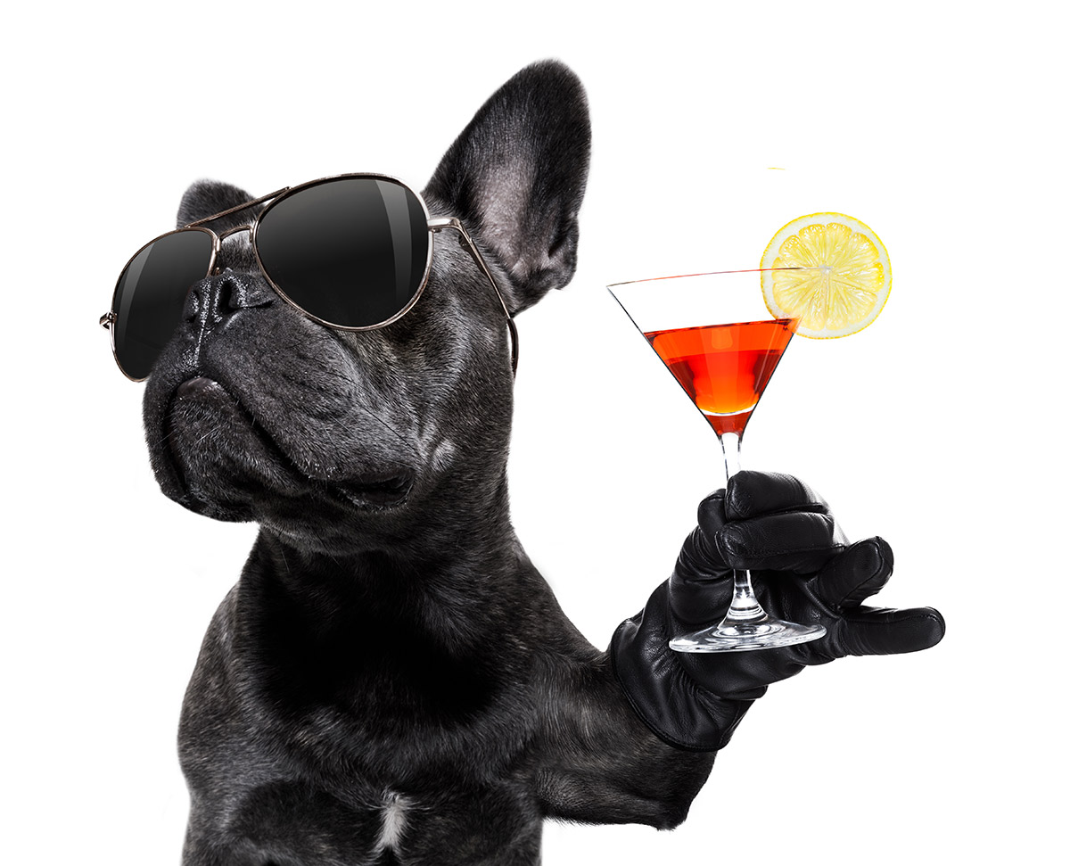 Cute black pug holding a martini glass